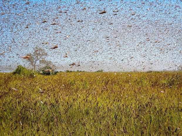 locusts swarm