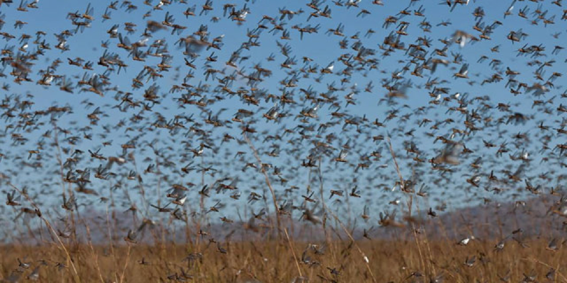 swarm-of-locusts-1 in the dessert