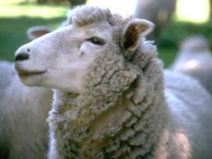 DOMESTICATED ANIMAL 012 a sheep